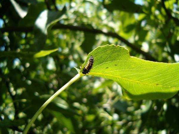 На груше липкие листья – появилась грушевая листоблошка