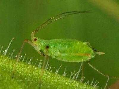 Как избавиться от тли на растениях в домашних условиях