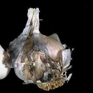 Болезни и вредители лука и чеснока: описание и меры защиты