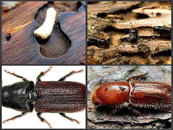 Как избавиться от короеда в деревянном доме, на дачном участке и в лесу