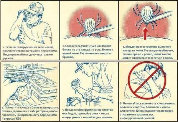 Лучшие рекомендации о том, как правильно вытащить клеща в домашних условиях