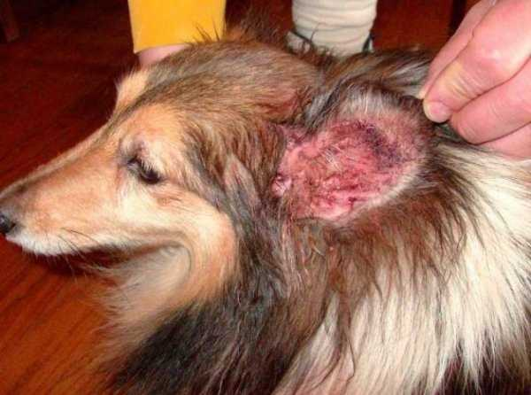 Ушной клещ у кошки: диагностика, симптомы, лечение, препараты