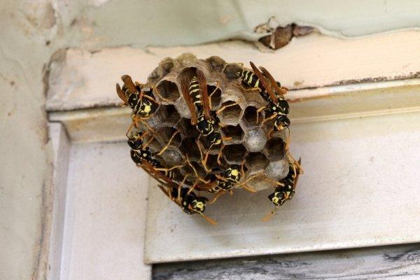 Отличия осы от пчелы и шмеля, чем отличается их жало и укус
