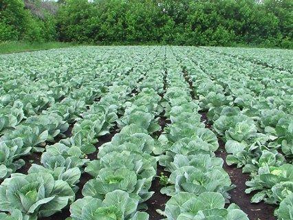 Чем обработать капусту от тли