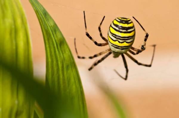Паук черный с желтыми полосками, осиный, тигровый, опасен ли?
