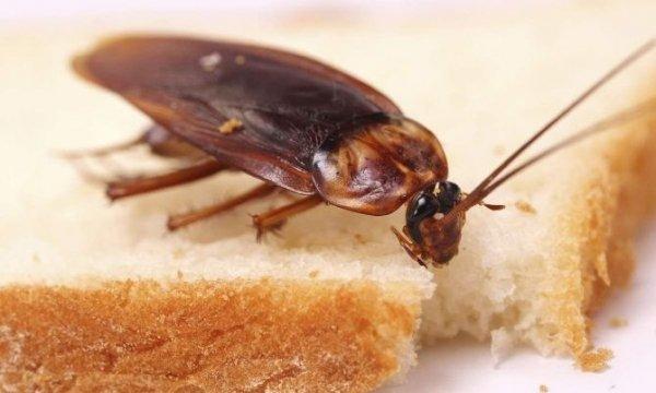 Почему в квартире появляются тараканы: обитание, размножение, уничтожение