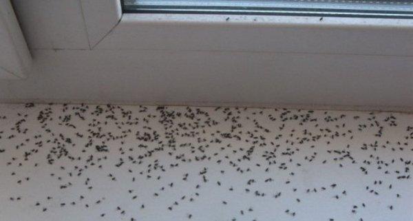 Как бороться с мошками в квартире: уничтожаем их быстро и эффективно