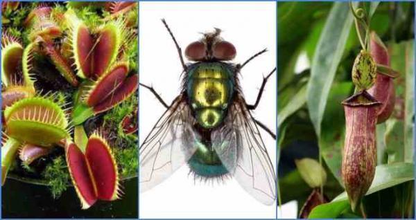 Кто он такой — цветок, который ест мух?