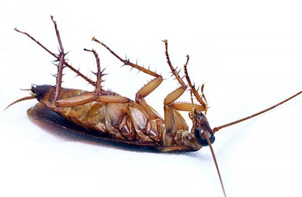 Применение универсального средства Регент 800 против тараканов