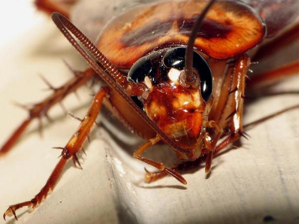 Размножение тараканов: сколько особей может вылупиться из одного яйца?