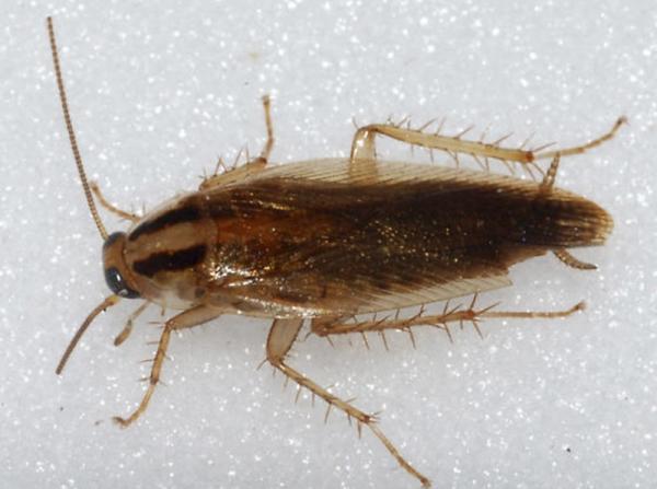 Средство от тараканов Глобал (Global, Globol) – насколько оно эффективно