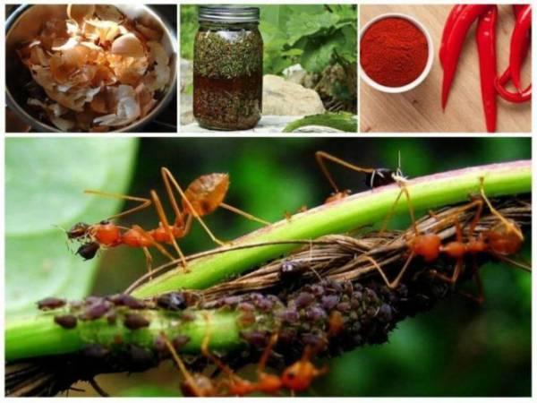 Как избавиться от муравьев в теплице. Какие меры борьбы помогут избавиться от вредителей