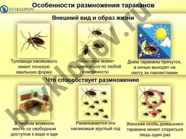 Особенности размножения тараканов