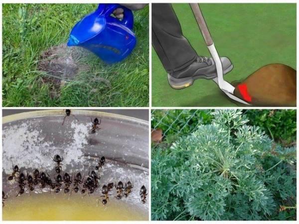 Простые способы спасти смородину от муравьев и тли