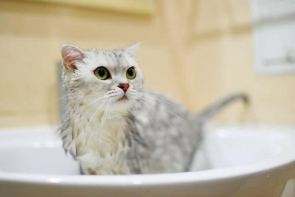 Как часто можно мыть шампунем от блох кошку, кота и котят