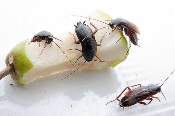 Чёрные тараканы в наших квартирах