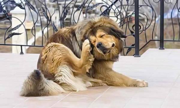 Блохи у собак: морфология, особенности развития, средства борьбы