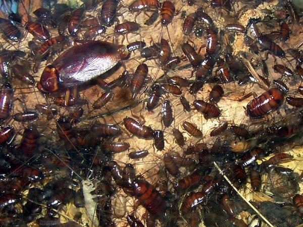 Избавляемся от тараканов по правилам, служба дезинсекции