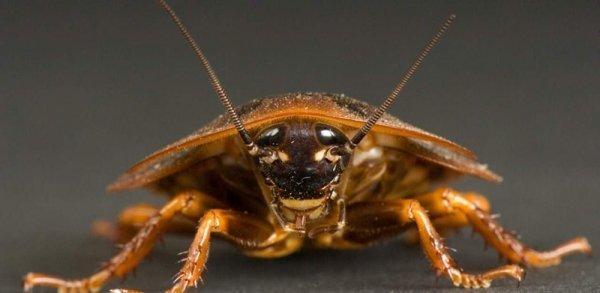 Народные способы борьбы с тараканами