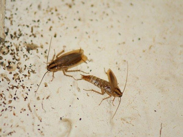 Появление черных, рыжих, белых и других тараканов во сне: к чему это?