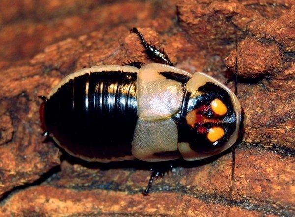 Виды и разновидности тараканов