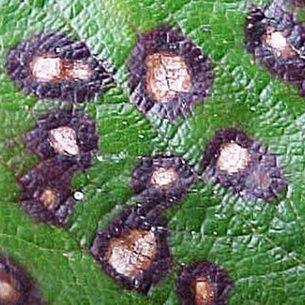 Болезни плодовых деревьев: фото и описание