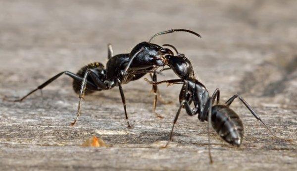 Черные муравьи в доме, квартире, огороде, саду