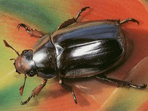 За что почитали жука-скарабея