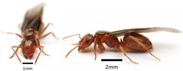Как избавиться от муравьев с крыльями