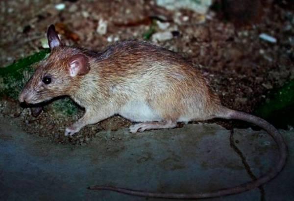 Крысы: разновидности, образ жизни, места обитания в природе и городах.