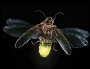 Светлячки – живые фонарики