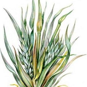 Основные болезни зерновых культур
