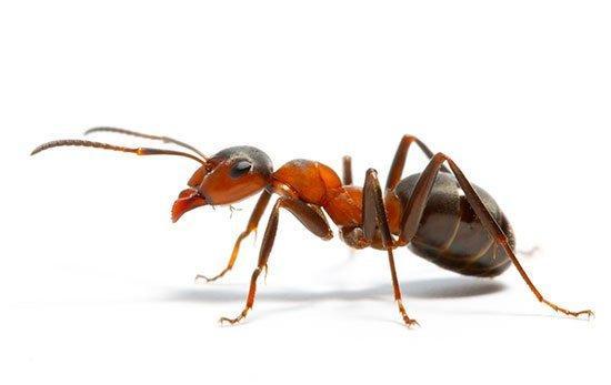 Как избавиться от муравьев: методы борьбы, способы уничтожения