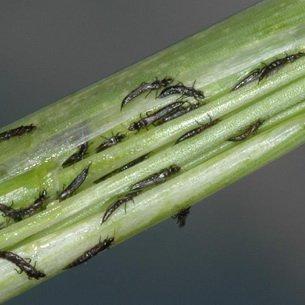 Вредители зерновых культур: описание и система защиты