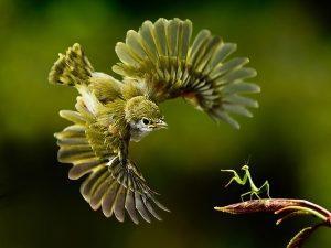 Богомолы: размножение и жизненный цикл