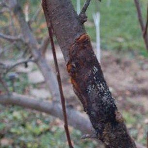 Болезни и вредители косточковых культур: описание и способы борьбы