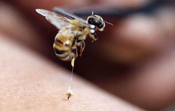 Пчелиный укус: польза или вред