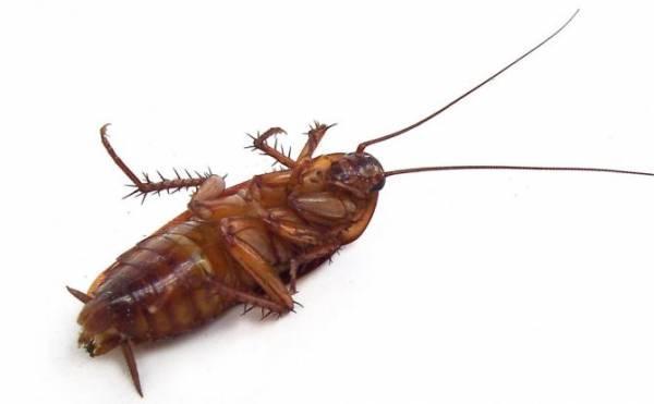 Эфирное масло против тараканов, какое масло они боятся больше?