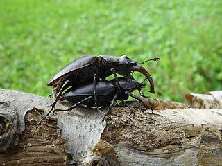 Секреты жизни жуков-рогачей