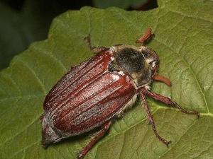 Особенности внутреннего строения майского жука