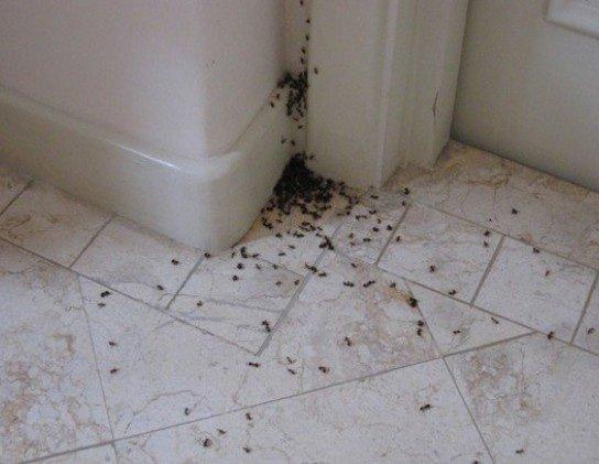 Муравьи в квартире: как вывести, как избавится. Средство от муравьев в квартире