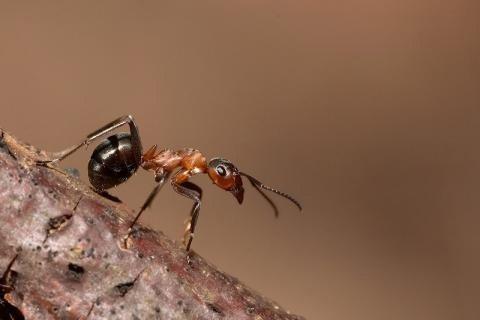 Рыжие муравьи. Как избавиться от домашних рыжих муравьев