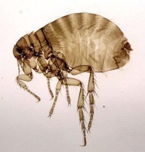 Человеческая блоха: описание, методы защиты от паразита