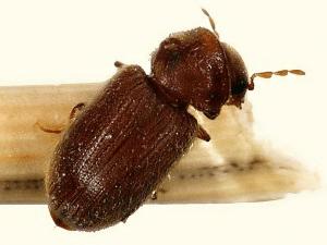 Как спасти мебель от жука-точильщика
