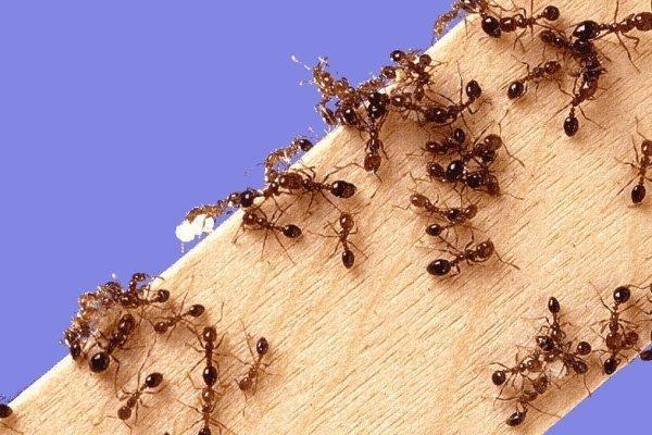 Домашние муравьи: как избавиться, как бороться. Средство от домашних муравьев