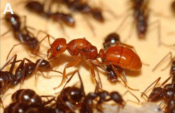 Описание муравьев-вредителей с фото: как выглядят, где обитают, как с ними бороться