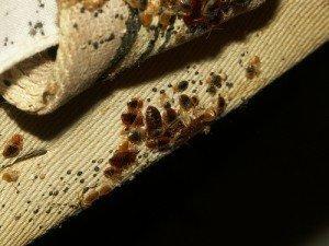 Чем опасны клопы и каковы последствия от их укусов?