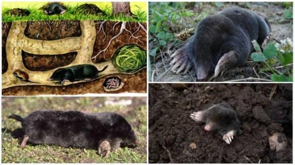 Крот обыкновенный (европейский): описание и среда обитания