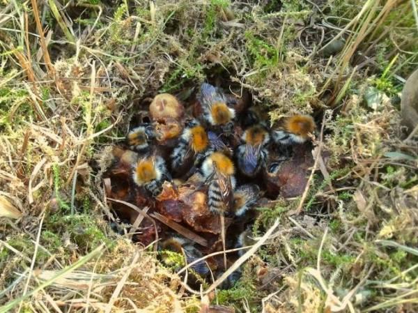 Шмель насекомое. Описание, особенности, образ жизни и среда обитания шмеля