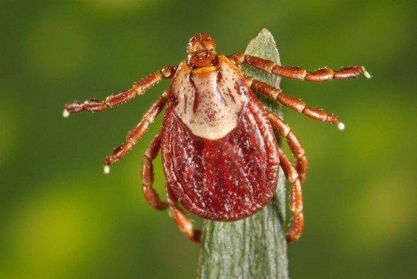 Клещи в сентябре опасны или нет: периоды активности насекомых и опасность